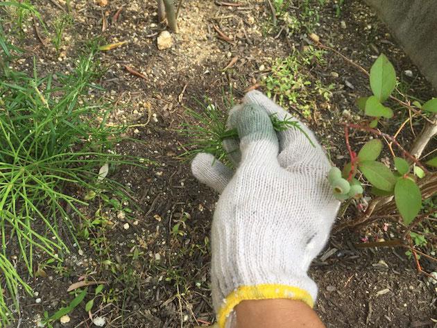 除草剤のしみ込んだ軍手でスギナを触って行く。こうすれば他の植物に当たるのを極力減らせる。