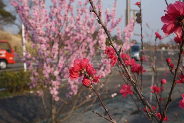 ピンクや赤。色々な色が楽しめるのもハナモモのいいところですね。