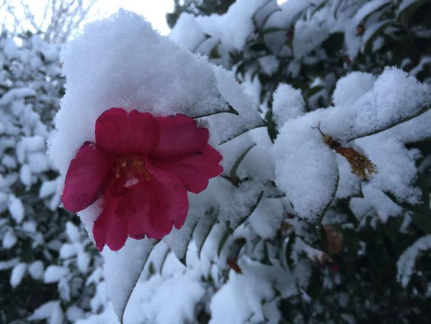 サザンカに積もった雪。日本にいる感じがしますね!いいわあ。