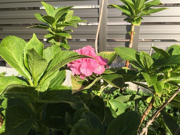 訪問日は9月30日。明日から10月ですがアジサイが咲いている!!!