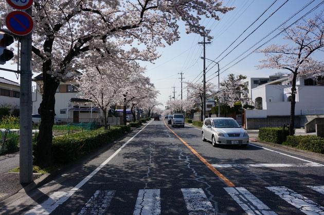 西を向いてもまだ桜並木が続く 302も超えてどんどんと行けば良いのに