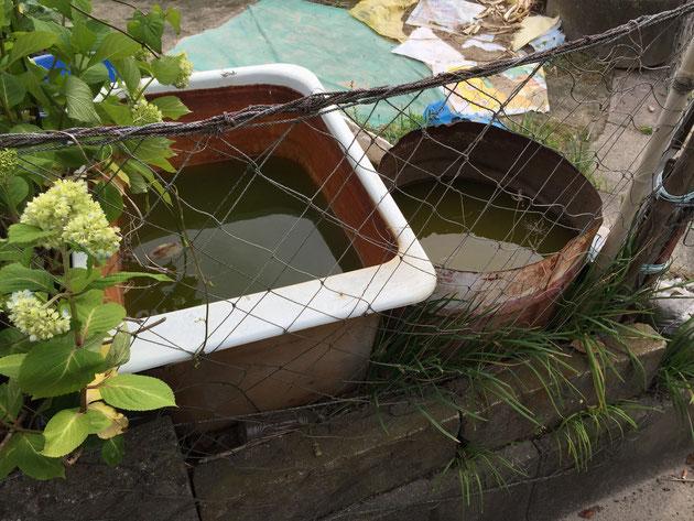 よく畑の脇においてある水を溜める為のバスタブやドラム缶 中には『本当にこの水使うのかな?』と思ってしまうような水が溜まっている