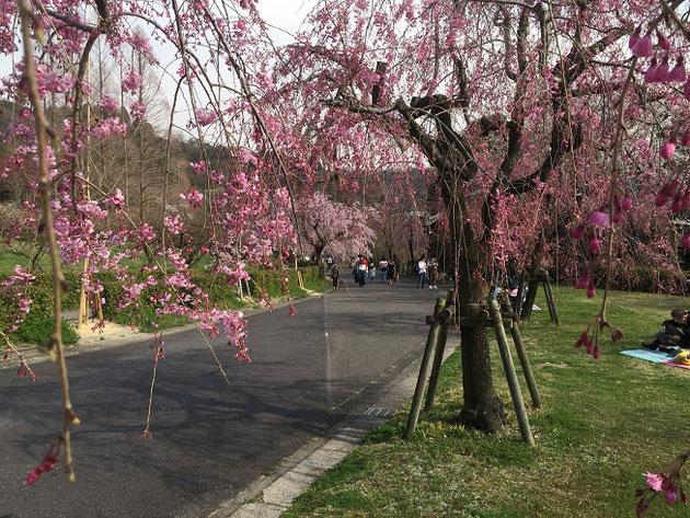 シダレザクラも咲き始めています!!!