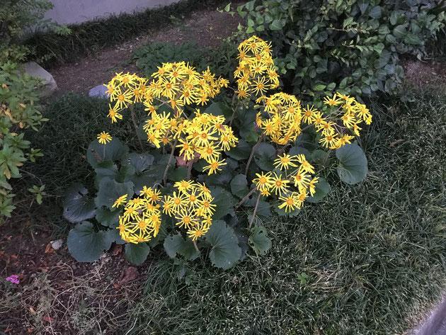ツワブキも旬。見事に黄色く美しい花を咲かせている。