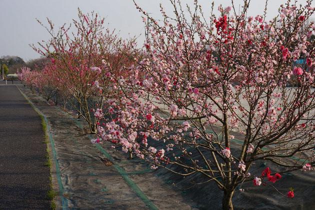 尾張旭市の維摩池公園駐車場の周りに植えられたハナモモが見ごろ!
