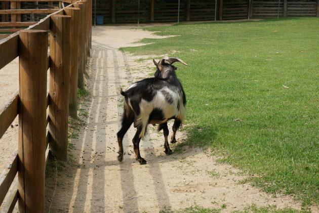 広い柵の中にいるヤギさん。アジサイは食べないほうがいいかもよ!