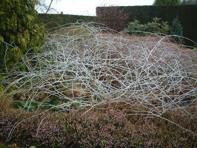 白い枝の美しさを庭の景色に取り入れている