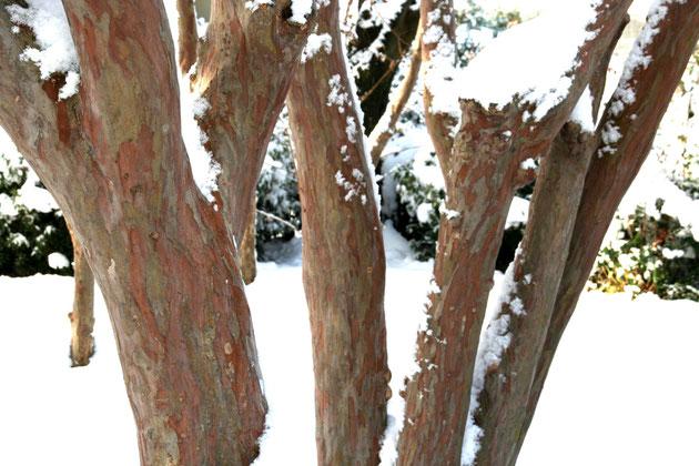 サルスベリの幹は雪の中で寒そうに見える