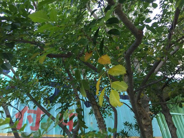 今朝のシマトネリコ。葉っぱの黄色いところはもうすぐ落ちる葉っぱ。