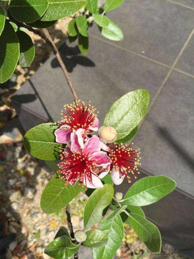 こちらがフェイジョアの花。フェイジョアは実も大変おいしいですが、花弁は甘くてジューシー。