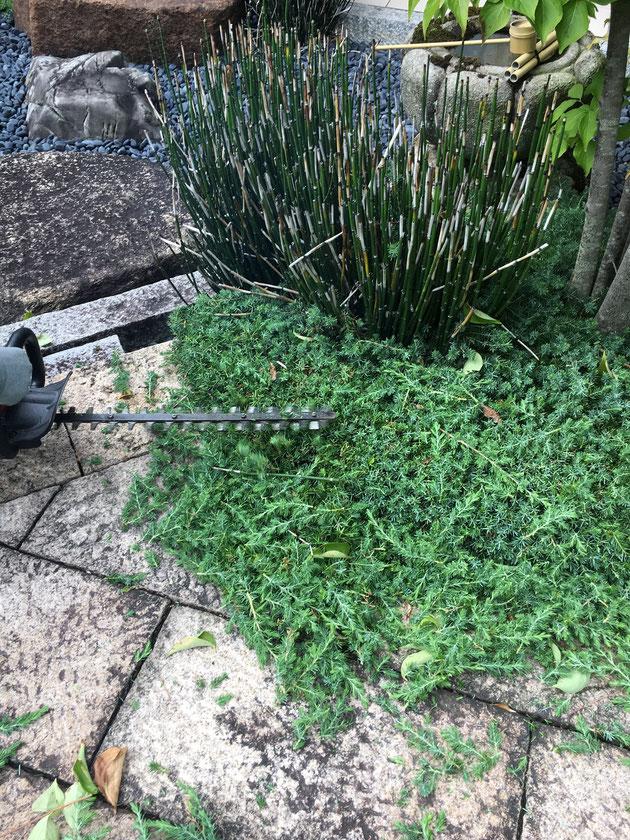 トリマーで低木植栽を刈り込んでいます!!
