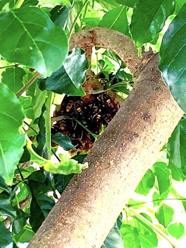 身を寄せ合っているアシナガバチの集団。