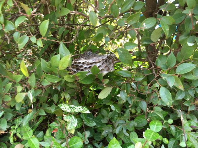 生垣の中に、アシナガバチの巣が隠れている!