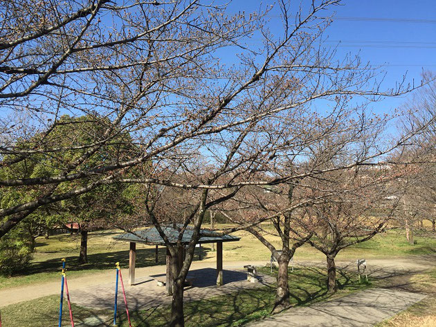 雨池公園の西側。ここはまだ咲いていませんね。