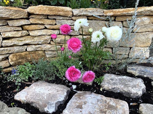 4月頭にとても綺麗な花を咲かせるラナンキュラス