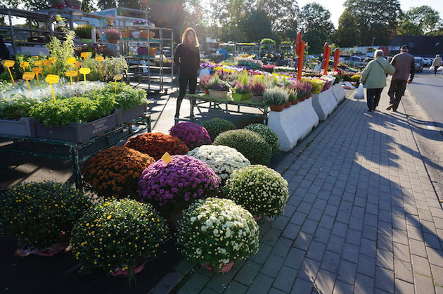 ベルギーでは菊が流行っているのでしょうか!?