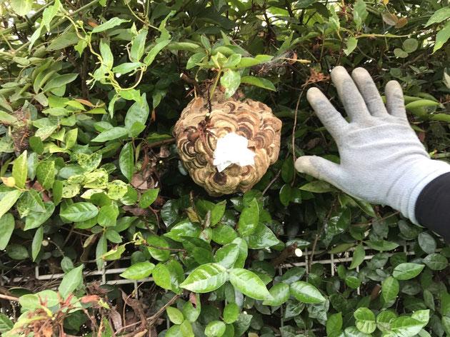 茂みに中にスズメバチの巣が!