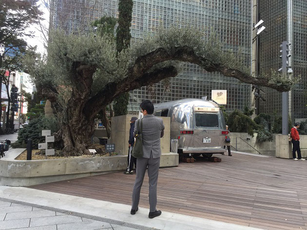 197cmあるS氏もビックリのお化けオリーブの木。