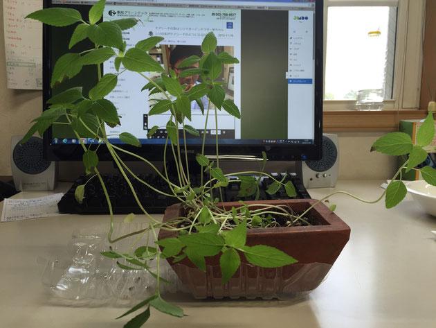 種から順調に育ったチアシード。今ではガーデンドクター柴ちゃんにとってはなくてはならないインテリアになっています!