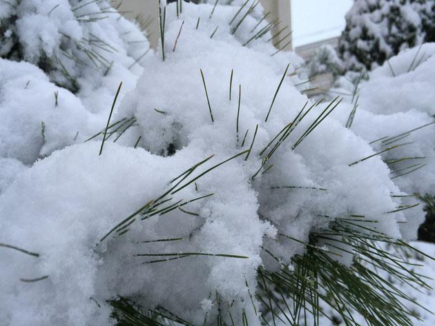 松の葉っぱに雪が積もるとこんな感じ。おもしろい。
