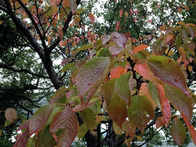 ソメイヨシノの葉っぱ 紅葉もグラデーションで奇麗
