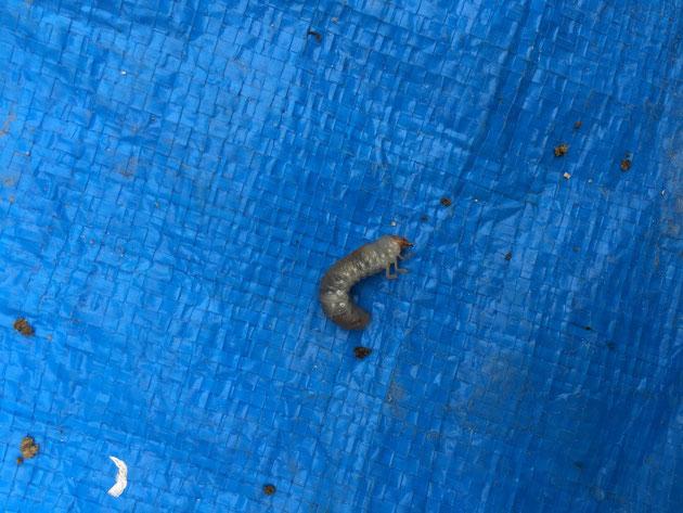 何かの幼虫 黄金虫やカミキリムシの場合が多いです