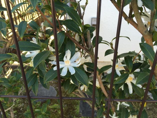 冬の1月に花を咲かせてくれるカメリア類(ツバキ・サザンカ)はとても貴重な花木です。