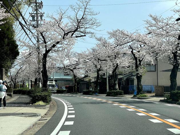 2021/3/29大森金城学院前の街路樹であるソメイヨシノ。今年も美しい。