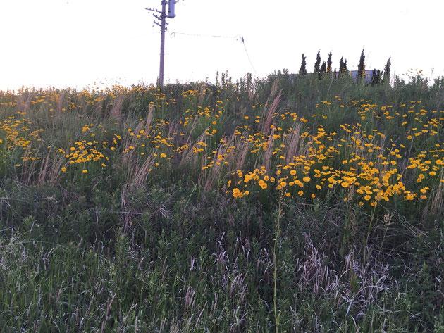 夕暮れ時の川原で見かけた黄色い花 群生しているこれってもしかして・・・