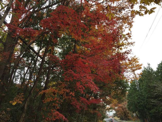紅葉は昼と夜の寒暖の差が大きいと綺麗に色づく。山間部で美しいのはそのせい。