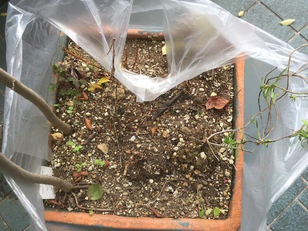 ビニール袋はなるべく上の方までまくり上げる。土が落ちない様に。