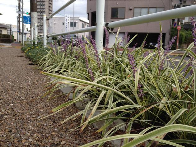 道路と歩道のガードレールの下に植栽されたフイリヤブラン