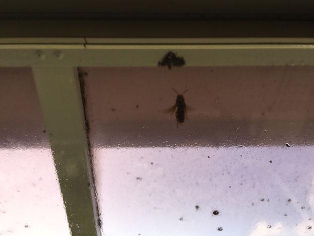 後で帰って来た女王蜂。巣が無くなっても巣に帰って来た。ごめんね。