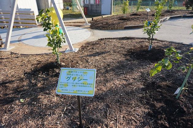 ふるさと名古屋レモン園に植わっているグリシーの苗木