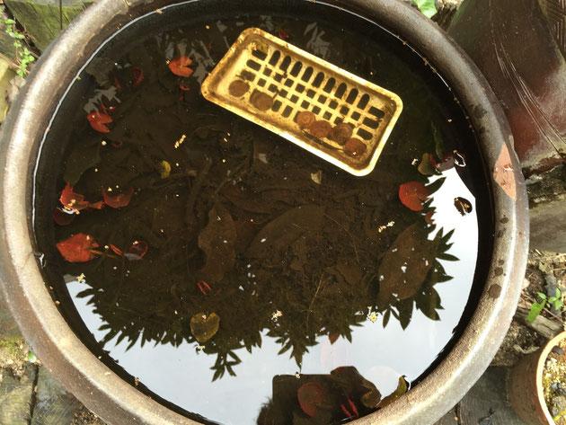 10円玉を入れたほうの睡蓮鉢。こちらは一体どんな結果になっているのか?
