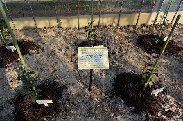 ふるさと名古屋レモン園の温室内で育てられるラフマイヤー