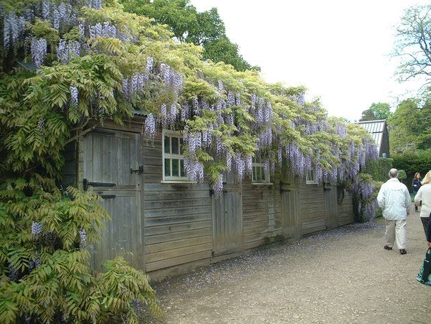 イギリスではフジの花がクライミングプランツとしてよく使われている。淡い紫の花は人気だ。
