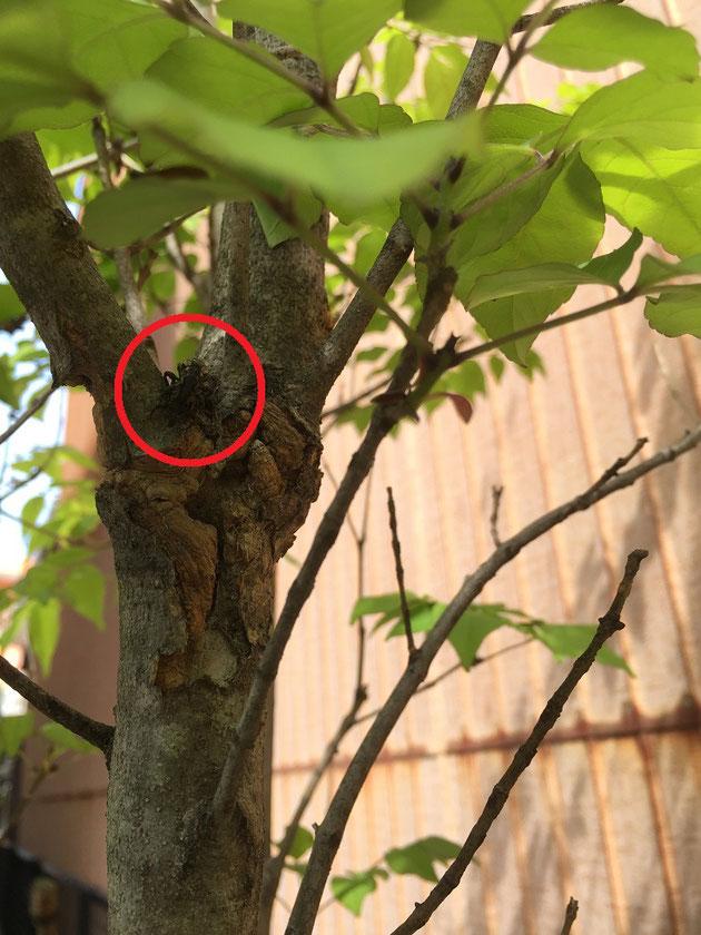 アオダモにもぞもぞ動く影を見つけた。これは害虫か?