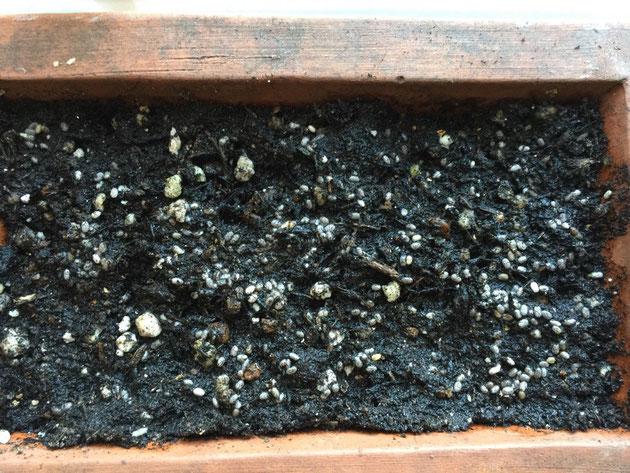 こちらは木曜日の朝に撮影した土に蒔いたチアシードの種