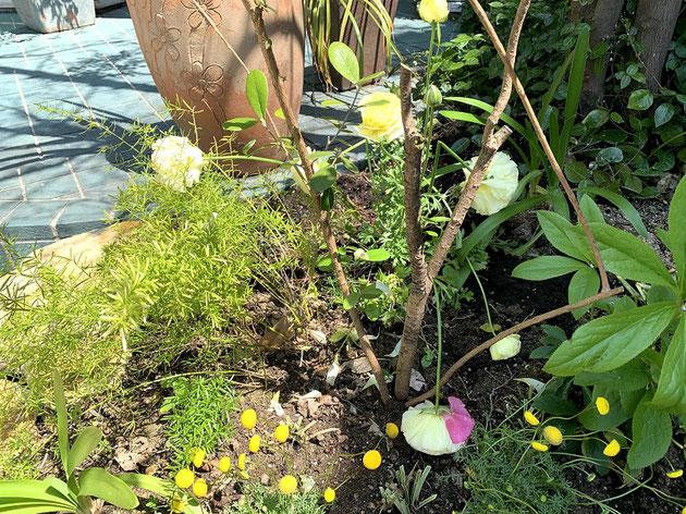 ラナンキュラスは花が大きすぎて折れてしまう