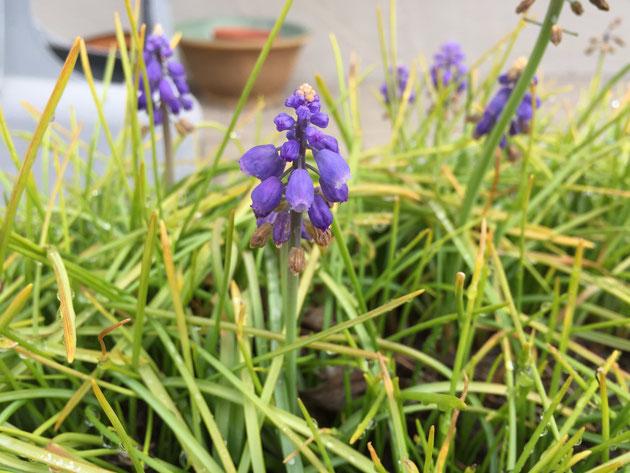 春に勝手に咲いてお勧めな球根植物 ムスカリ