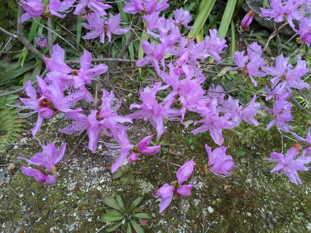 美しい紫色をしたミツバツツジ。春の山には欠かせない植物ですね。