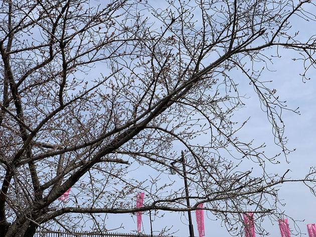 2019/3/29城山公園のソメイヨシノ。殆ど開花していない。
