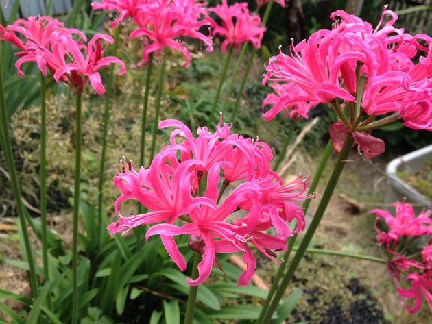 11月20日に咲くピンク色の美しい花
