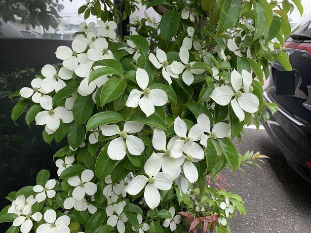 今年はトキワヤマボウシの花が特に綺麗に咲いている気がする!