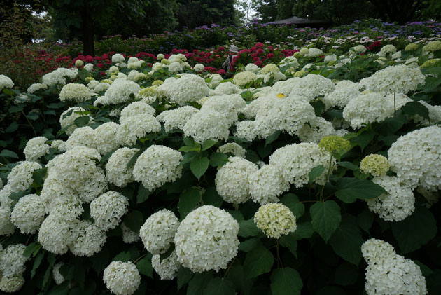 """アメリカアジサイ""""アナベル"""" 私もお庭を造るときによく植えます。綺麗だなあ。"""