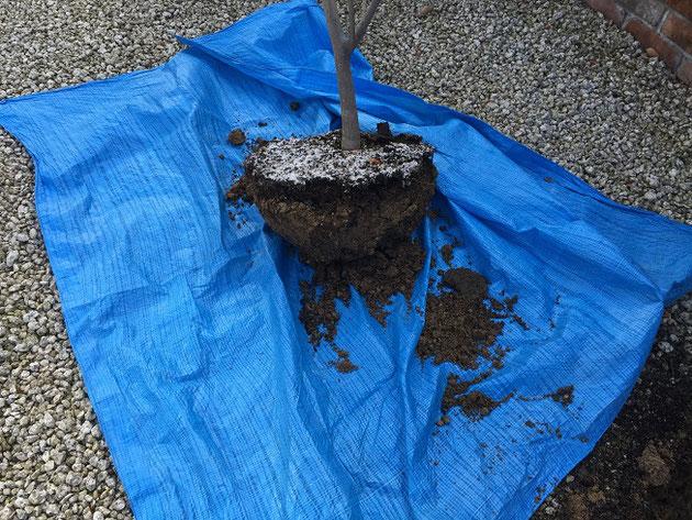 根が十分に張っていないので簡単に掘り取り完了。