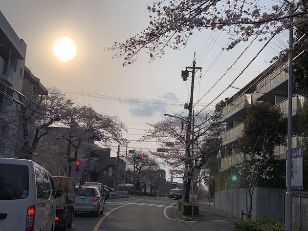 2019/3/28大森金城学院前の街路樹であるソメイヨシノ。毎年ここが一番早い気がする。