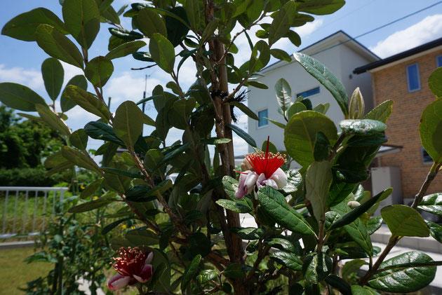 ガーデンドクター柴ちゃんが大好きなフェイジョアも花をつけてる!