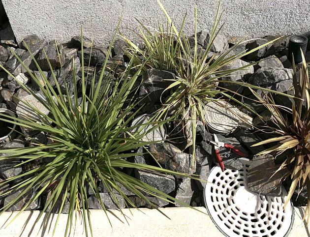 植栽はコルジリネ3つでした
